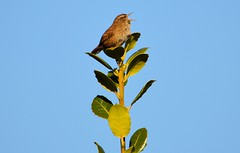 Sing, baby sing. (albutrosss) Tags: sky tree bird nature singing wren albutross