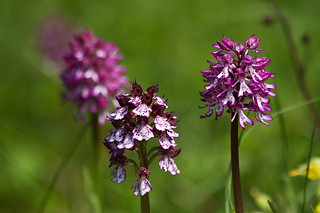 Mum with kids - The Lady Orchid & the hybrids of the Lady Orchid & the Monkey Orchid