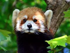 (This Red Panda Name is Kinta. She is Female Red Panda of Nogeyama Zoo.) (Dakiny) Tags: cute animal animals mammal zoo firefox panda redpanda yokohama lovely mammals     endangeredspecies cuteanimal lesserpanda   nogeyama nishiku  nogeyamazoo  lovelyanimal