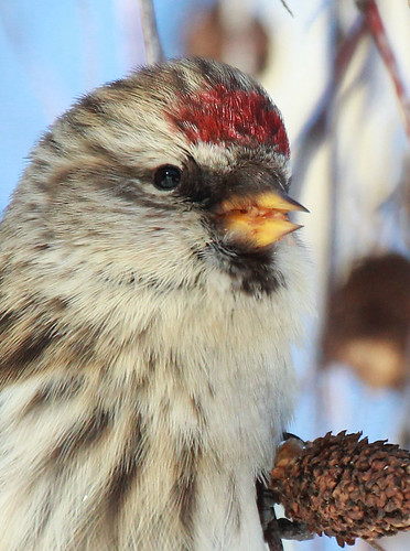 Common Redpoll, up close!