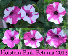 Holstein Spotted Petunia 2013 (goat mountain) Tags: pink white secret spotted petunia limited restricted