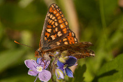 Marsh fritillary butterfly (jon lees [FRE]) Tags: wet butterfly jon action wildlife meadow plan bap naturereserve heath northernireland species british marsh priority grassland bog fritillaries lees fritillary biodiversity niea assi redbrown murlough aurinia eurodryas irishwildlife