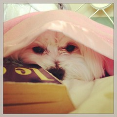 #naptime with a good #book. #adventuresofmabel #malshi #maltese #shitzu #dog #cute #puppy #sleepy #pink #blanket #animal #pets (girlwhowrites) Tags: square squareformat rise iphoneography instagramapp uploaded:by=instagram