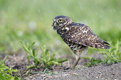 Shake It Out (Megan Lorenz) Tags: travel wild bird nature wet water florida wildlife sprinkler owl avian birdofprey burrowingowl capecoral 2013 mlorenz meganlorenz carmensowls