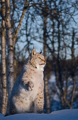 Good morning sun! (Jo Stenersen) Tags: winter sun snow sunshine norway cat mammal feline shadows birch endangered predator lynx gaupe langedrag