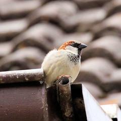 Feldsperling - Spatz (Stefan_68) Tags: bird pssaro sparrow oiseau vogel moineau pjaro songbird spatz uccello sperling singvogel oiseauchanteur