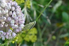 Oruga (esta_ahi) Tags: españa insectos fauna spain lepidoptera caterpillar tarragona larva oruga baixpenedès испания elmontmell