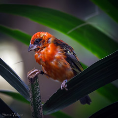uk red brazil color colour bird nature animal zoo amazon nikon rainforest colorful cheshire wildlife chester tropical colourful avian tanager upton chesterzoo d7000 caughall nikond7000