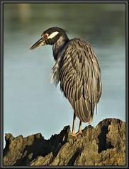 Or Tails (WanaM3) Tags: heron nature water texas wildlife bayou stump pasadena canoeing paddling yellowcrownednightheron armandbayou sonya77 wanam3