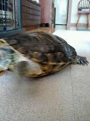 IMG_1825 (arakalada) Tags: turtle   redearturle