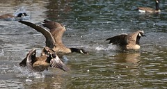Learning To Fly~2 (mylin's love, joy, peace) Tags: ontario canada brantacanadensis canadageese