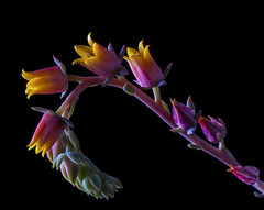Succulent Flowers On A Stalk (Bill Gracey) Tags: lighting pink flowers red orange flores color macro green nature fleur yellow succulent colorful flor blossoms buds softbox stalks softlight macrolens macrophotography homestudio directionallight offcameraflash tabletopphotography yn560 yn560ii yongnuorf603m