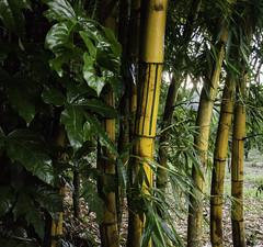 Verde amarillo del bambu (ChinoEstrada) Tags: verde tallo guatemala amanecer bosque santarosa bambu greenbeautyforlife