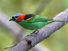 NE Brazil: Red-necked Tanager (spiderhunters) Tags: brazil bird rainforest bahia tanager mataatlantica atlanticrainforest tangaracyanocephala redneckedtanager neotropics tangaracynocephala