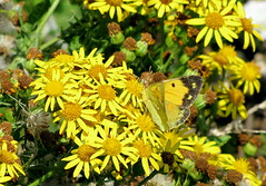 Clouded Yellow (waterbaby21) Tags: butterfly isleofwight migrant cloudedyellow comptonchine