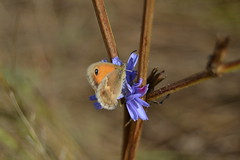Mariposa en flor (Hachimaki123) Tags: plant flower planta animal butterfly insect flor mariposa insecto