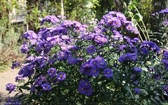 ASTERS || HERFSTASTERS  || NEW YORK ASTER (Anne-Miek Bibbe) Tags: flowers autumn fall garden herbst herfst nederland september tuin autunno bloemen asters lautomne 2013 bibber bibbe herfstasters annemiekbibbe
