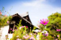cosmos '13 #3 (Sekihou-ji temple, Kyoto) (Marser) Tags: flower japan temple kyoto raw  gr ricohgr cosmos lightroom  grd