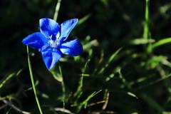 Gentiane printanire aux petales bleu vifs (glookoom) Tags: jaune montagne alpes vert bleu etoile couleur flou chamrousse naturevertfleursprintempsplantedtails