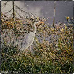 heron on the canal (robinparmar) Tags: ireland bird heron nature animal river geography limerickcity colimerick