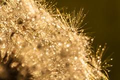 Reflexion (pallebaer) Tags: macro tamron 90mm vc wassertropfen gegenlicht abendsonne lwenzahn pusteblume eos450d