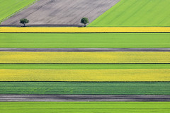 Narrow Bands (Aerial Photography) Tags: verde green field yellow by landscape spring mood landwirtschaft feld aerial rape m gelb rows parallels grn agriculture blte landschaft raps deu singletree stimmung frhling luftbild leaftree luftaufnahme colza blhen obb einzelbaum bayernbavaria deutschlandgermany reihen laubbaum deciduoustree ismaning ackerbau parallelen foliagetree fotoklausleidorfwwwleidorfde 24052010 ismaninglkrmnchen 1ds44558 neugrund