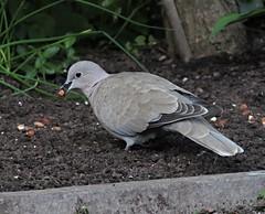 Photo of Collared Dove  Scientific name Streptopelia decaocto