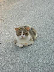 DSCN4518hyrd (163) (Clerss Malisha) Tags: pet cute animal animals cat mammal meow miao mammals domestico animali animale simpatico micio tenero mammifero selvaggio mammiferi