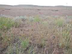 Sagebrush steppe: northwest of Fields, Oregon (southwest flank of Steens Mountains) (Matt Lavin) Tags: oregon steensmountains cheatgrass bromustectorum sagebrushsteppe wyomingbigsagebrush artemisiatridentatawyomingensis