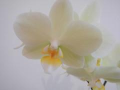 DSCN0552 (Riek2008) Tags: orchids