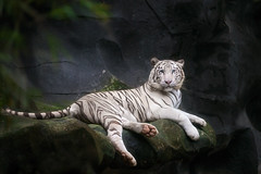 White tiger (anekphoto) Tags: tiger white zoo wild wildcats bengaltiger asianwhitetigers panthers asiantiger forest biology cat tropicalanimals whiteindiantigers whitebengaltiger wildlife tigris asiatigers indiantigers whitetiger tropicaltigers panthera nature animal jungle
