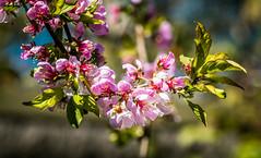 Prunus Elvins blossom (dmunro100) Tags: prunus elvins spring fleeting canon eos 80d canonef100mmf28lmacroisusm