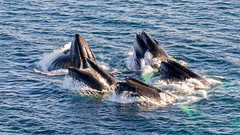 The Pack (Jean-Claude Kresse) Tags: blue ocean hunt greenland hunting humpback great tamron 90mm di macro big fish whales arctic qeqertarsuaq disko nikon d7100 island