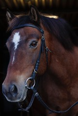 Leka. (m.rsjoberg) Tags: djur animal sverige sweden dalecarlia dalarna gotlandsruss 50mm 70d canon portrait portrtt horse hst rttvik pony ponny