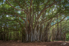 Banyan Tree in Hawaii (clevbuck1986) Tags: lost banyan hawaii vacation travel nikon d7100 oahu