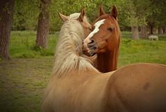 Cheek to cheek... (Maria Godfrida) Tags: nature horses couple animals brown love cheektocheek 7dwf pair friendship