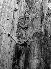 Web (fantenra) Tags: autumn park leaves forest nature old tree spider fall blackandwhite monochrome wood web gloom despondency ennui 2016