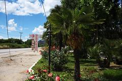 Palm Trees and Roses (Vojinovic_Marko) Tags: palmtree plant tree flowers roses greece grka nikon d7200 hellas travel