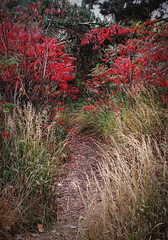 Path (merripat) Tags: path sumac grasses colorado autumn fall