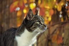 Simba in autumn... (martinap.1) Tags: cat autumn pet simba