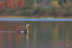 Grbe jougris juvnile / Red-necked grebe (Maxime Legare-Vezina) Tags: bird oiseau nature wild wildlife animal fauna biodiversity ornithology lake water reflection canon fall quebec canada