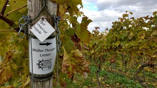 Müller-Thurgau (Herbst in den Weinbergen über Selzen)