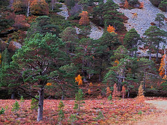 Glen More (JM-12) Tags: glen more lochan uaine green caledonian forest