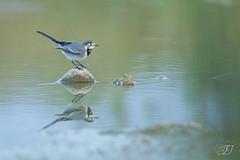 Bergeronnette grise (Tifaeris) Tags: bergeronnettegrise motacillaalba motacillidã©s passã©riformes whitewagtail bird oiseau