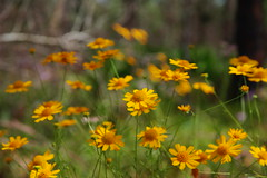 "SD Quattro ""Yellow Wildflowers"" (hetrickwesley) Tags: yellow wildflower wildflowers daisy florida gainesville sigma sdquattro morningside nature center park foveon x3"