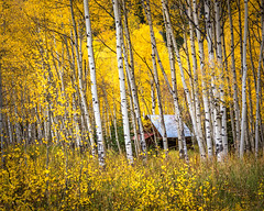 Cabin In the Aspen Glen (Ms Stacy) Tags: aspen fall colors yellow cabin woods forest trees colorado crystal