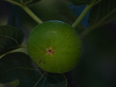 Fig (Fire Engine Red) Tags: garden autumn figs fruit green