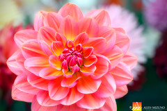 Dahlia-34 (Nualchemist) Tags: flower plant nature simplyflowers petals pink bloom green greenleaves floralphotography dahlia yellow red summer fullbloom botanical bright light floral heavenly macro orange 2016dahiashow colorful white closeup delightful glorious magical soft goldengatepark pretty palepink lightpink enchanting sanfrancisco singleflower cheerful joyful delight california colors palette botanicalgarden organicpattern purple lavender designbynature geometric elementsofdesign silky velvet softlight veil tender flame fire satin translucent