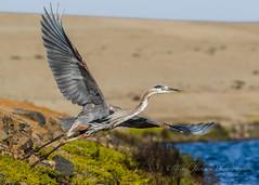 Launch (cbjphoto) Tags: blue bolsachica carljackson ecological great heron photography reserve avian bird inflight