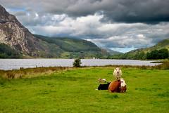 Snowdonia (Glenn Pye) Tags: snowdonia snowdoniamountainrange lake lakes mountain moutains cow cows nikon nikond3000 d3000 wales northwales